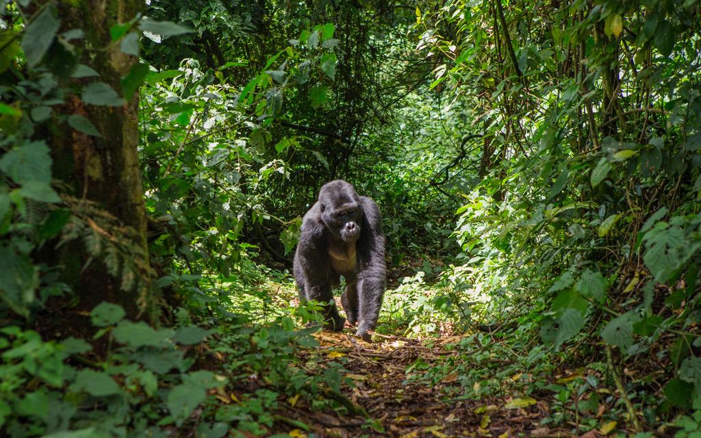 Фото: Горная горилла