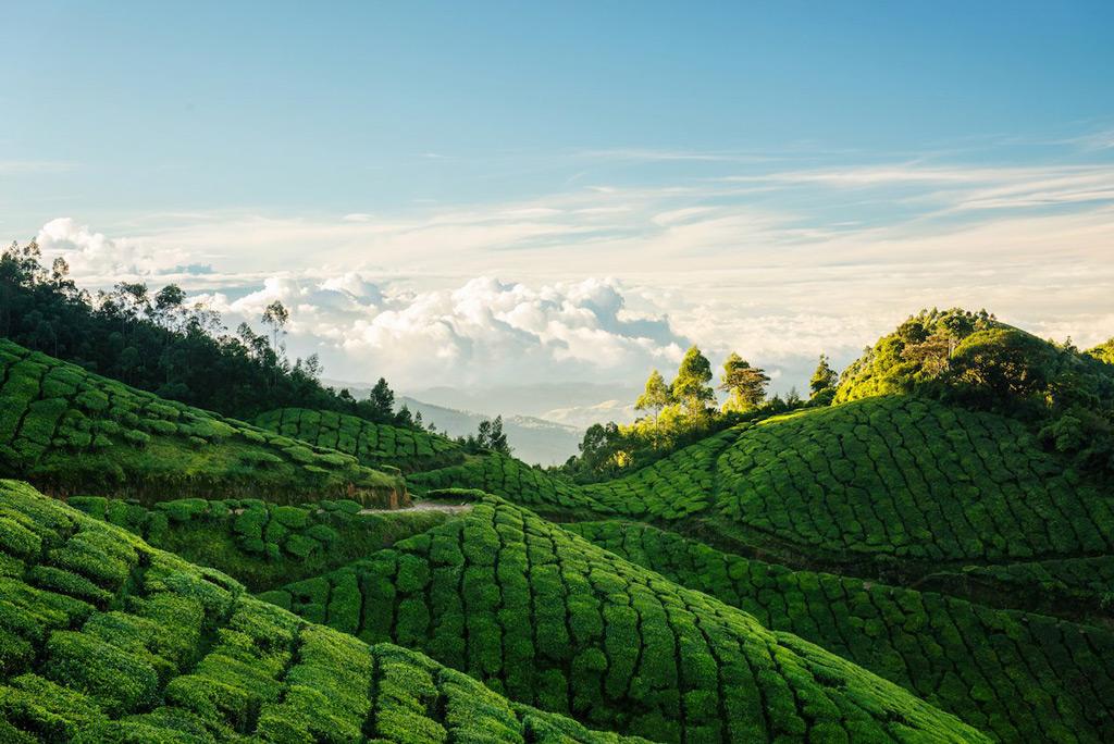 Фото: Изумрудная чайная плантация