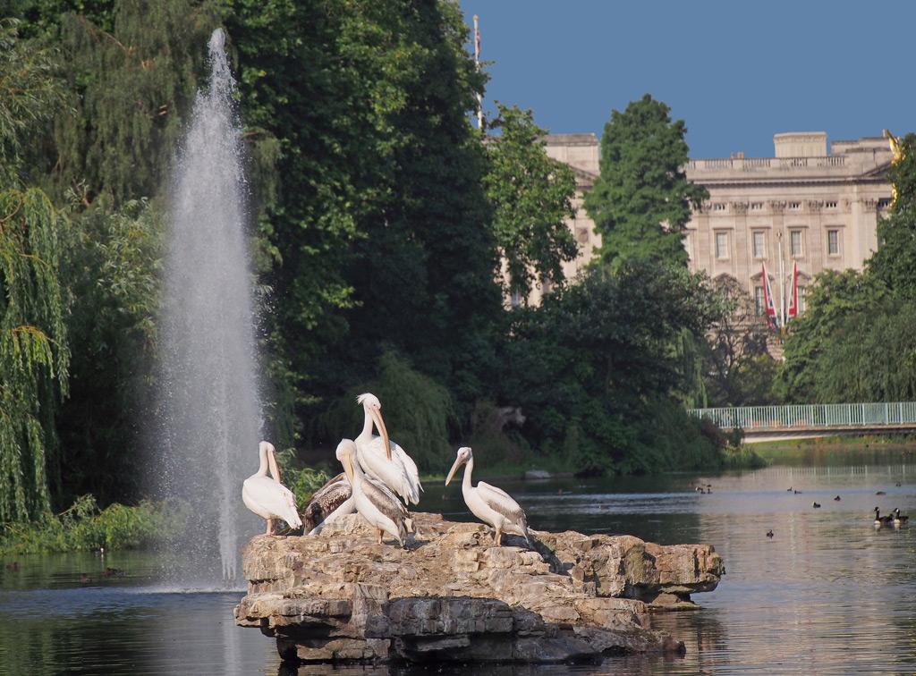 Фото: Пеликаны в St. James Park