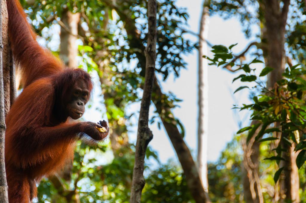 Фото: Tanjung Puting в Индонезии