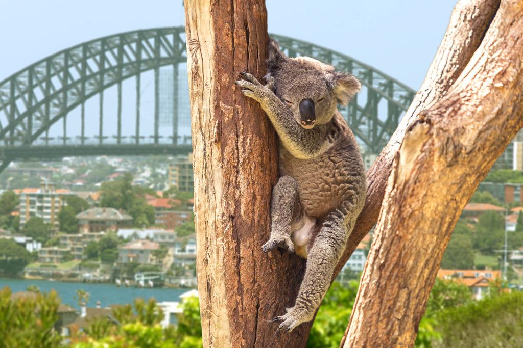 Фото: Симпатичная Коала в Сиднее, Австралия