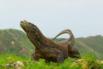 Фото: Драконы острова Комодо