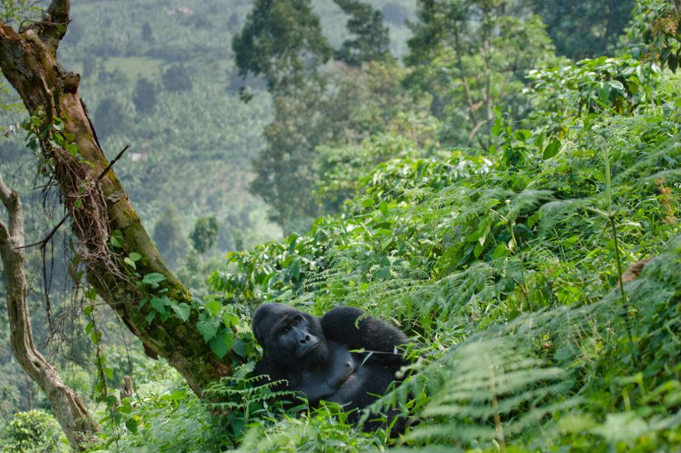 Фото: Лес Бвинди, Уганда
