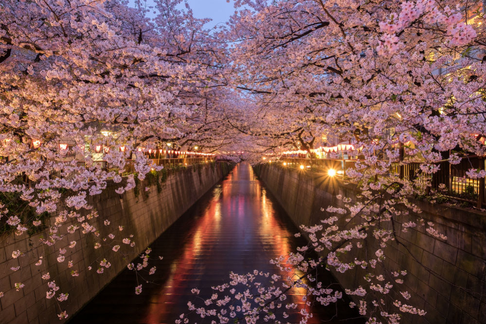 Фото: Фестиваль цветущей сакуры