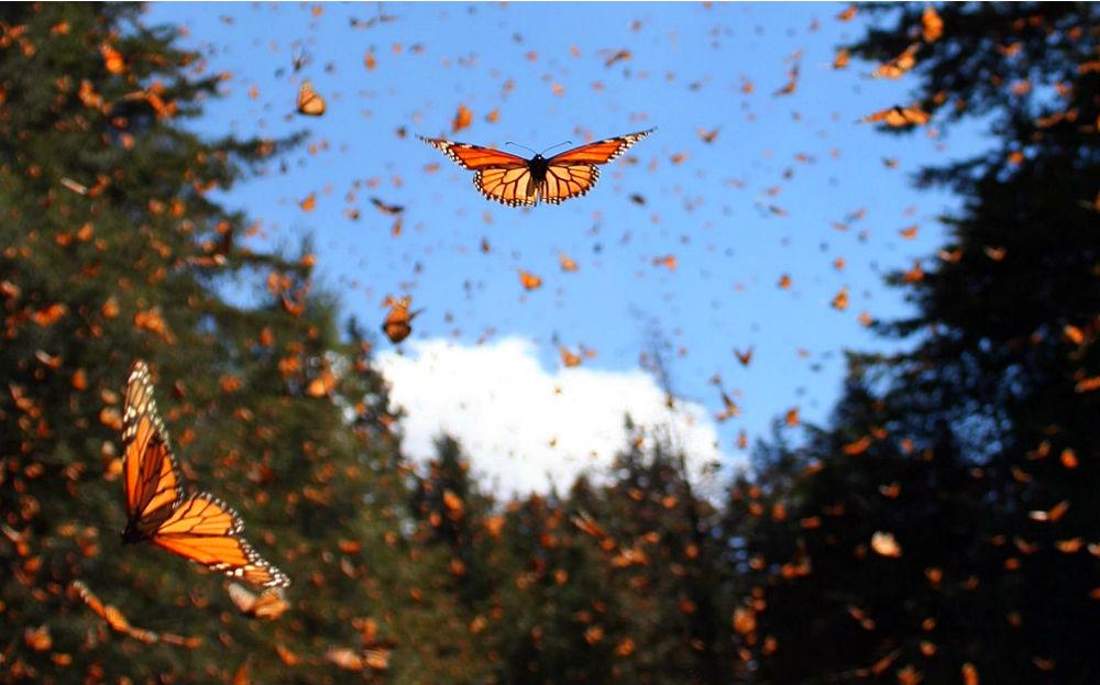 Фото: Миграция бабочек