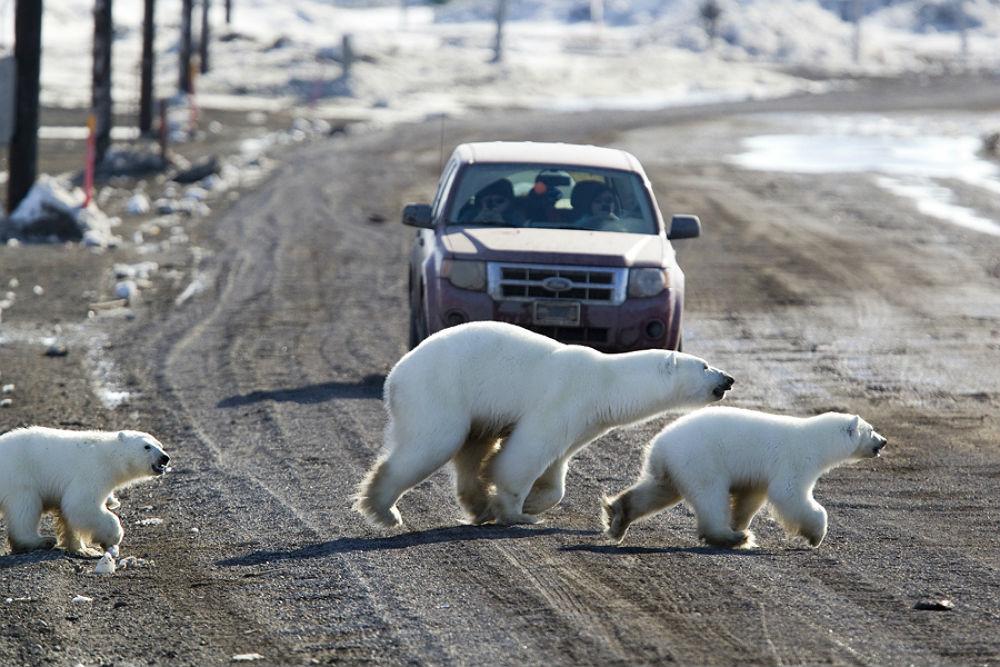 Фото: Полярные медведи в Канаде
