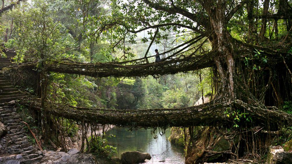 Фото: Мост из корней деревьев