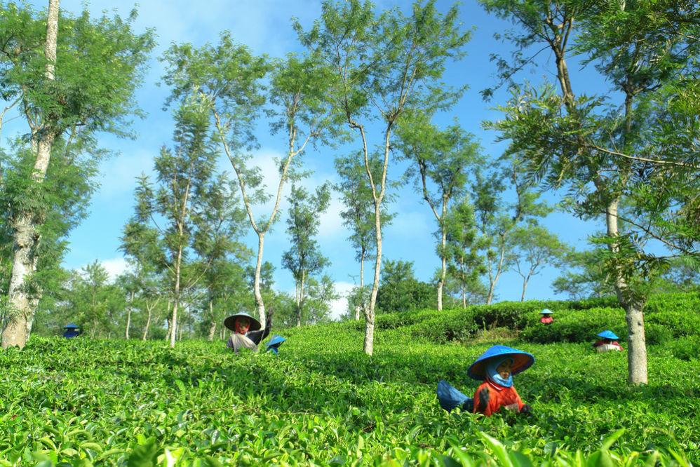 Фото: Чайные плантации Воносари