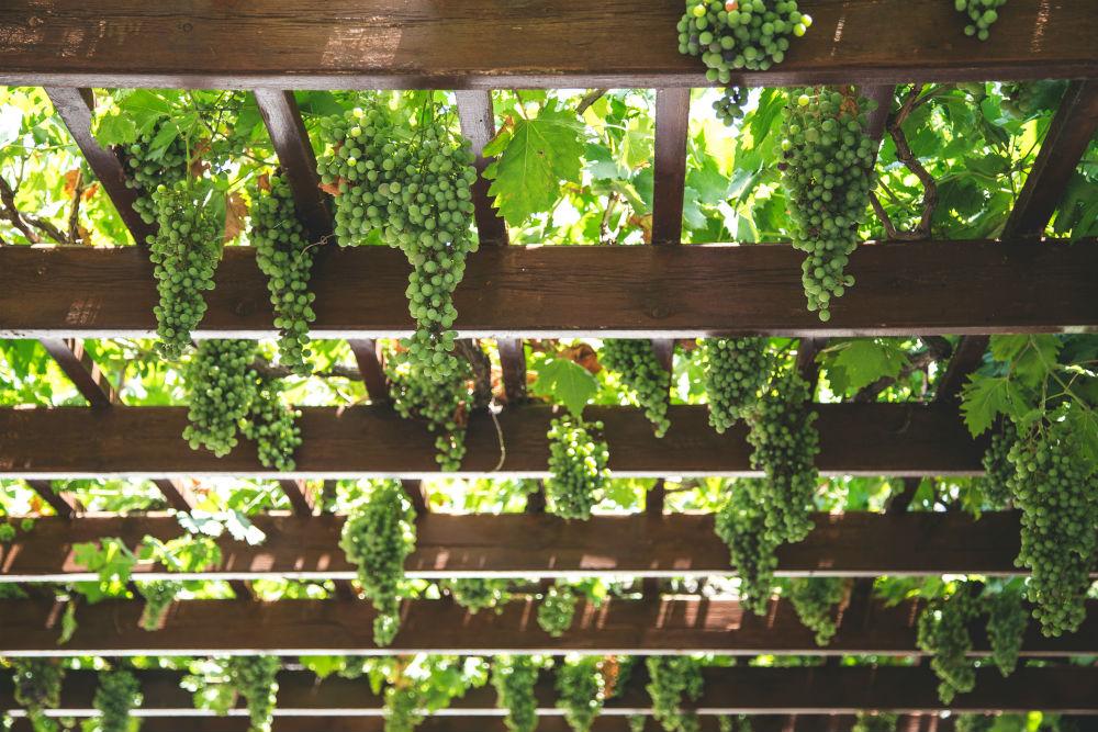 Фото: Виноградная лоза
