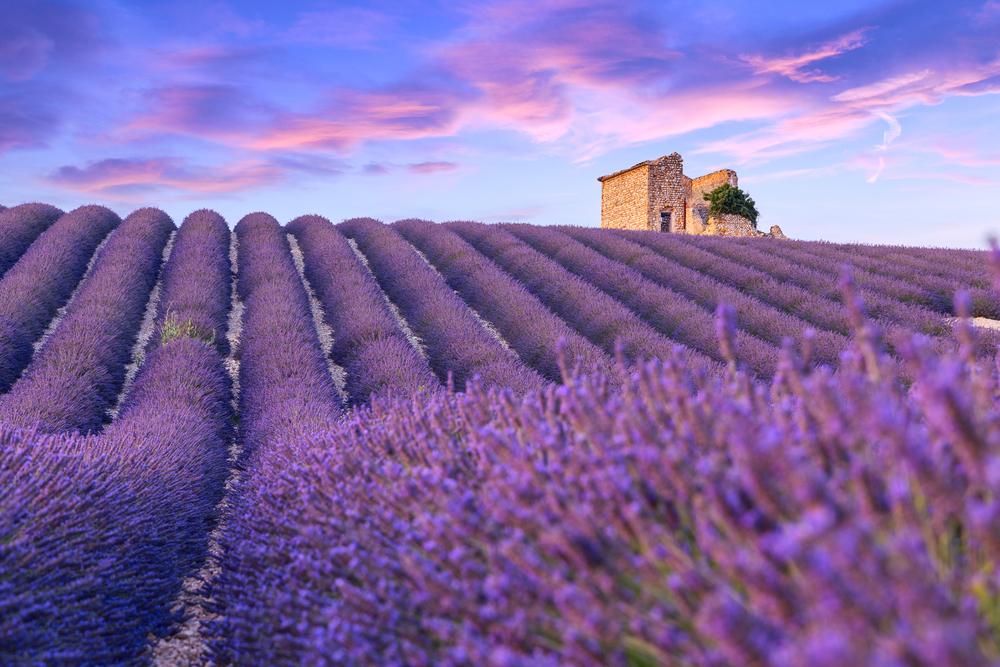 Фото: Лаванда в Провансе