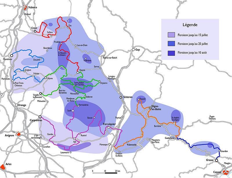Фото: Карта цветения лаванды