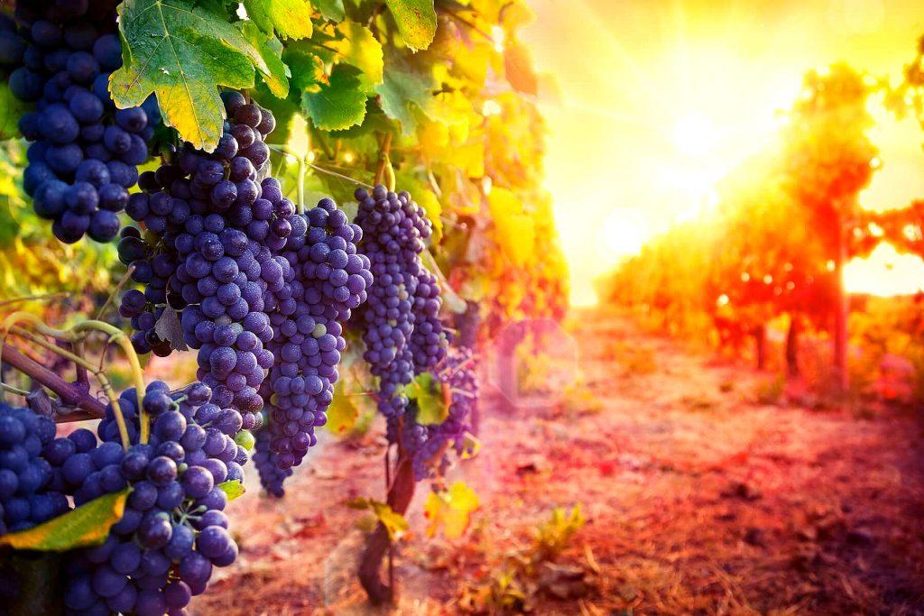 Фото: Виноград