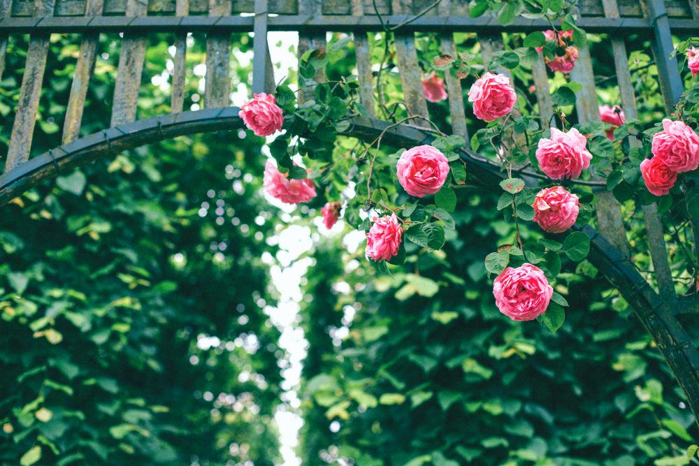 Фото: Сад роз