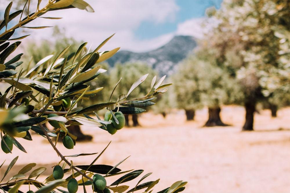Фото: Оливковое дерево