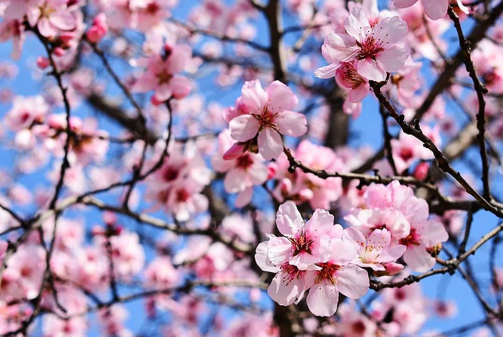 Фото: Миндаль  Расцветающая Европа: куда поехать весной almond flowers