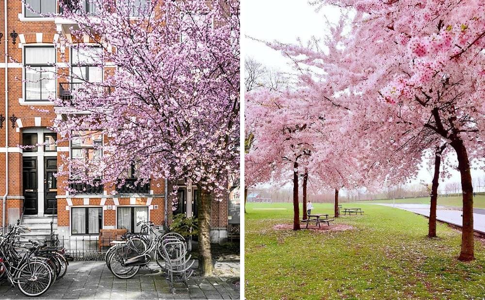 Фото: Амстердам Долина Валье-дель-Херте Не только в Японии и не только весной: где смотреть на цветение сакуры amsterdam sakura