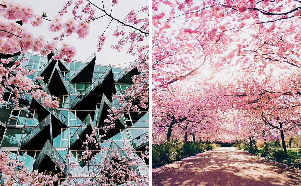 Фото: Копенгаген Долина Валье-дель-Херте Не только в Японии и не только весной: где смотреть на цветение сакуры copenhagen sakura