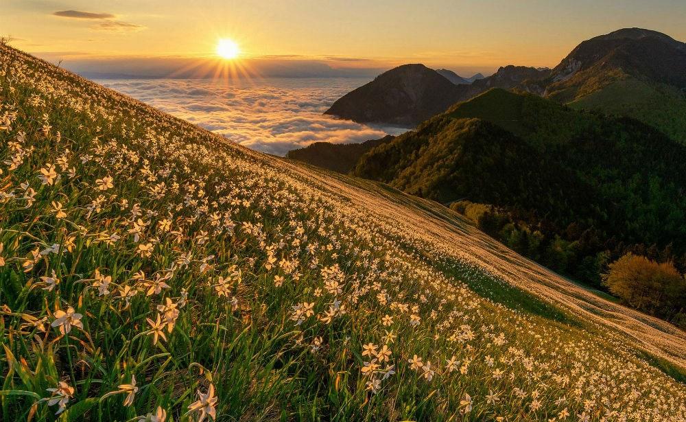 Фото: Нарциссы Расцветающая Европа: куда поехать весной Расцветающая Европа: куда поехать весной daffodils 1