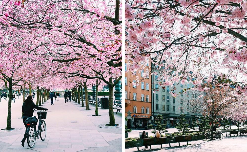 Фото: Стокгольм Долина Валье-дель-Херте Не только в Японии и не только весной: где смотреть на цветение сакуры stockholm sakura