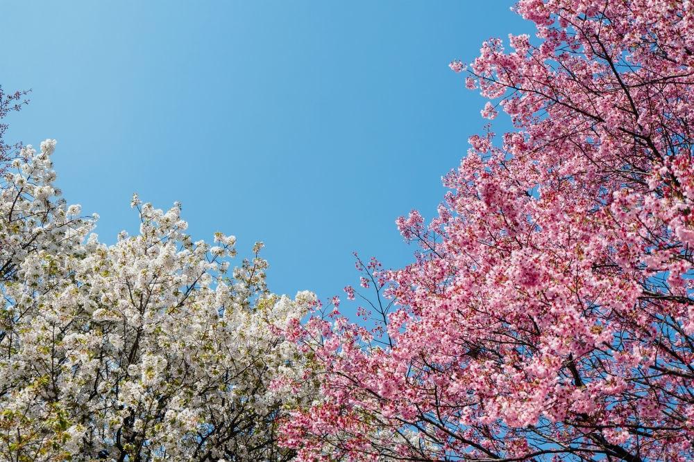 Фото: Сакура Долина Валье-дель-Херте Не только в Японии и не только весной: где смотреть на цветение сакуры sakura 1