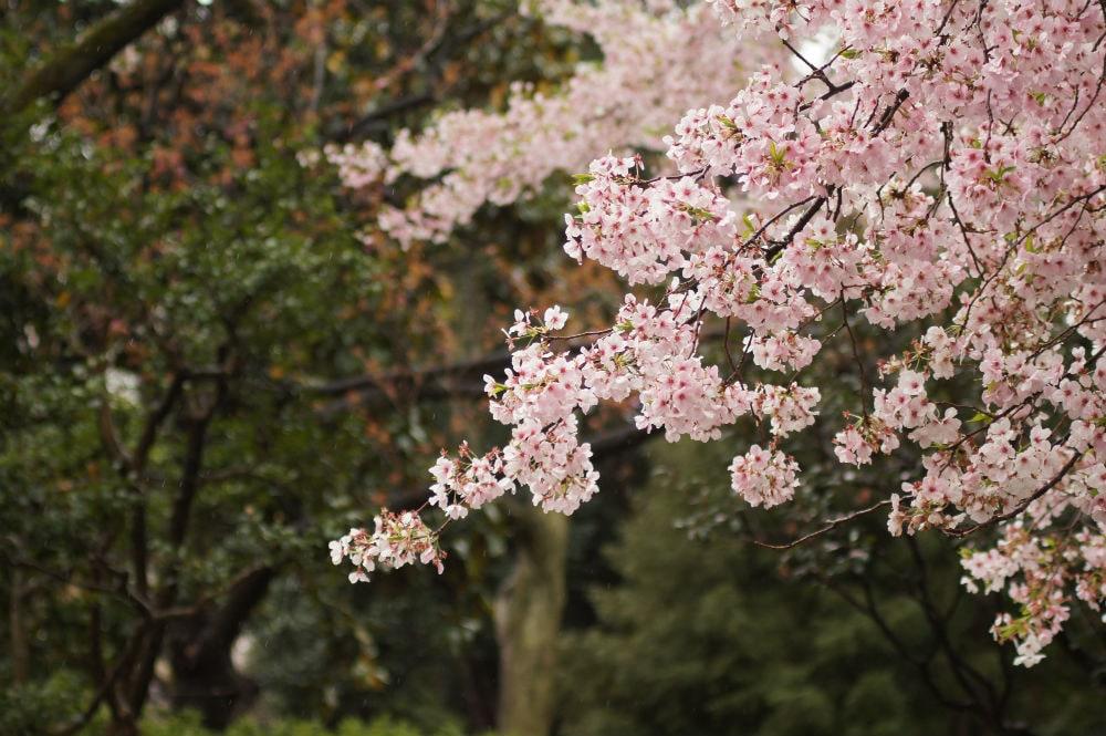 Фото: Сакура Долина Валье-дель-Херте Не только в Японии и не только весной: где смотреть на цветение сакуры sakura 2