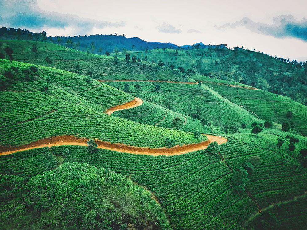 Фото: Чайные плантации