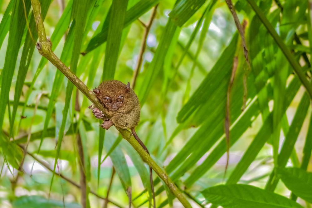 Фото: Заповедник Филиппин Тарсьер