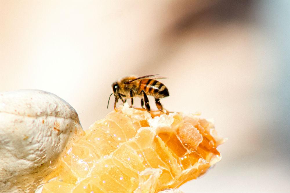 Фото: Соты диких пчёл